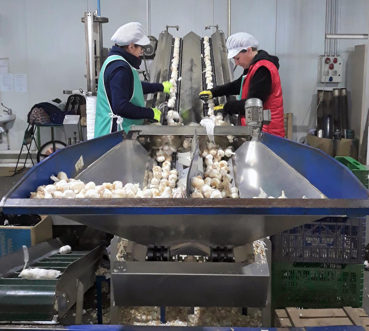 Producción de ajos en las instalaciones de Ajos Palacios